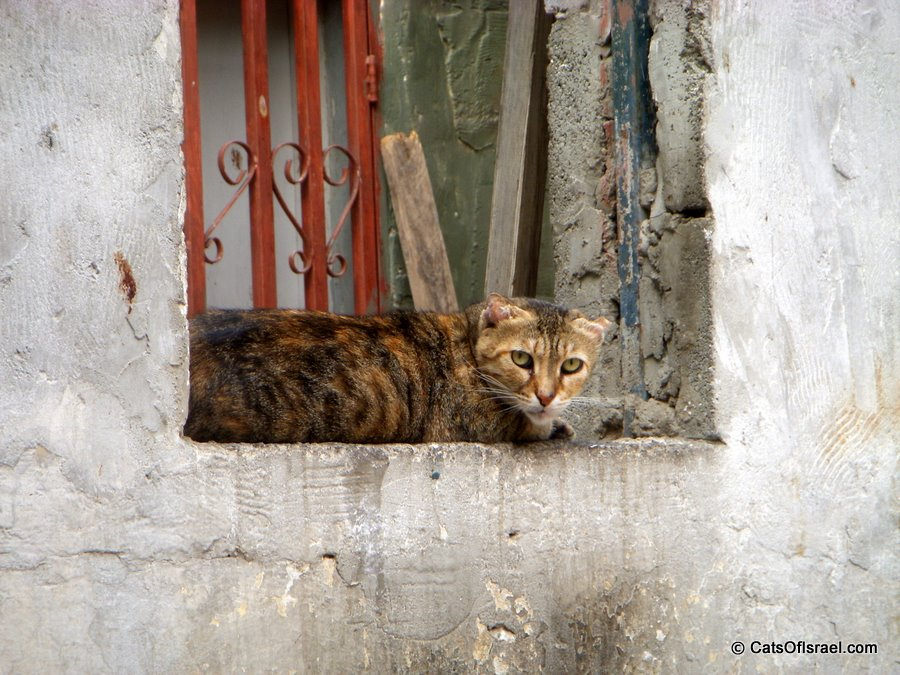 Rough Looking Cat from Neve Tzedek