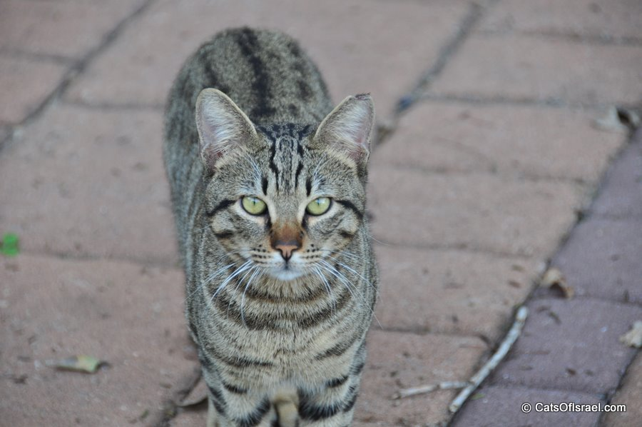 Serious Looking Egyptian Mau Cat